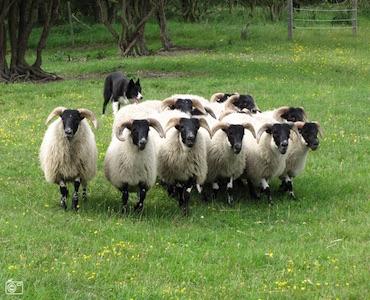 schapendrijven700